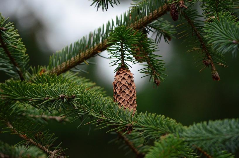weihnachtsbaum christbaum tannenbaum selber schlagen. Black Bedroom Furniture Sets. Home Design Ideas