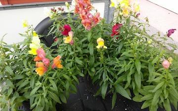 Balkonpflanzen Pflege Tipps Fur Winterharte Ganzjahrige Pflanzen
